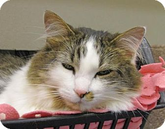 Domestic Mediumhair Cat for adoption in Woodstock, Illinois - Bella
