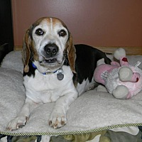 Beagle Mix Dog for adoption in Lucknow, Ontario - GOOBER- Easy boy