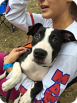 American Staffordshire Terrier Mix Puppy for adoption in Bronx, New York - Violet