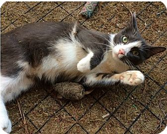 Calico Cat for adoption in N. Billerica, Massachusetts - Bella