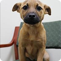 Adopt A Pet :: Piglet - Neosho, MO