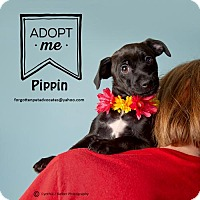 Adopt A Pet :: Pippin - Pearland, TX
