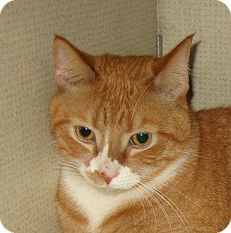 Domestic Shorthair Cat for adoption in Hamilton, New Jersey - SHELDON -2013
