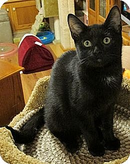 Domestic Shorthair Cat for adoption in Rohrersville, Maryland - Eros