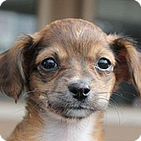 Adopt A Pet :: Cassidy - La Habra Heights, CA