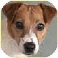 Adopt A Pet :: Jack Prophet - Chicago, IL