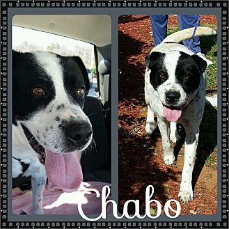 Blue Heeler/Bluetick Coonhound Mix Dog for adoption in Shaw AFB, South Carolina - Chabo