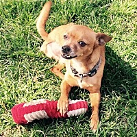 Terrier (Unknown Type, Medium) Mix Dog for adoption in Santa Clarita, California - Trooper
