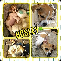 Chihuahua Mix Puppy for adoption in Scottsdale, Arizona - Bosley