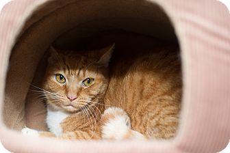 Domestic Shorthair Cat for adoption in Fallbrook, California - Vespa
