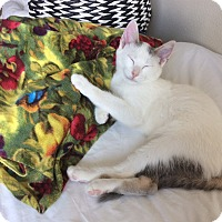 Domestic Shorthair Kitten for adoption in Pittsburgh, Pennsylvania - Darwin