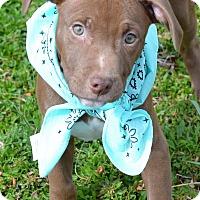 Adopt A Pet :: Brynndon - Albemarle, NC