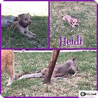Adopt A Pet :: Heidi - DeForest, WI