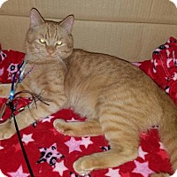 Adopt A Pet :: RJ - He's a lap cat! - Parker Ford, PA