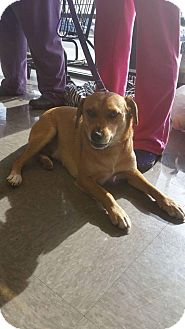 Labrador Retriever/Terrier (Unknown Type, Medium) Mix Dog for adoption in Huntington, Indiana - Zoro