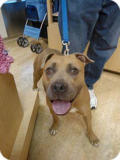 Boxer/American Pit Bull Terrier Mix Dog for adoption in Scottsdale, Arizona - Loki