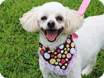 Poodle (Miniature)/Maltese Mix Dog for adoption in Princeton, Kentucky - Cuddles
