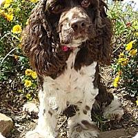 Adopt A Pet :: Rose - Sugarland, TX