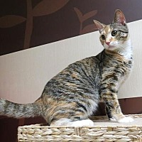 Domestic Shorthair Cat for adoption in St. Louis, Missouri - Clarisse