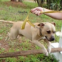 Labrador Retriever/Pit Bull Terrier Mix Dog for adoption in Malabar, Florida - Touche