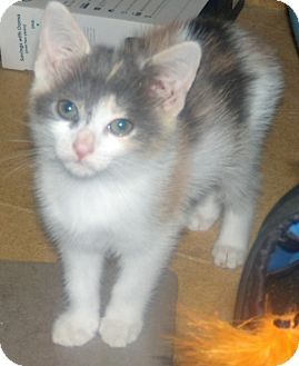 Calico Kitten for adoption in Buford, Georgia - Calico - $70.00 for 1 or 2
