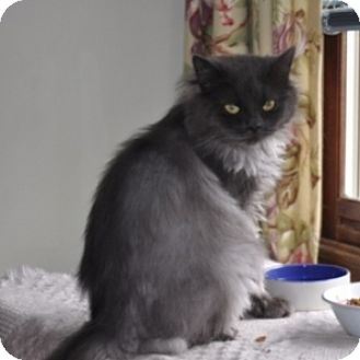 Persian Cat for adoption in St. Charles, Illinois - Chloe