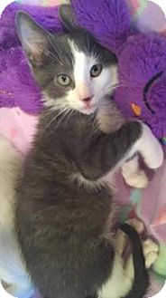 Domestic Shorthair Kitten for adoption in Mission Viejo, California - Michael