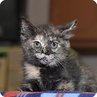 Adopt A Pet :: Roma - Medina, OH