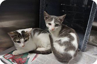 Domestic Shorthair Kitten for adoption in Henderson, North Carolina - Stage Kittens (6)