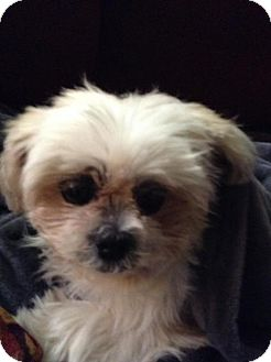 Shih Tzu Dog for adoption in Seymour, Connecticut - Libby:Snuggler! (PA)