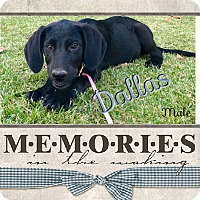 Adopt A Pet :: Dallas in  CT - Manchester, CT