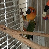Conure for adoption in Punta Gorda, Florida - Gem