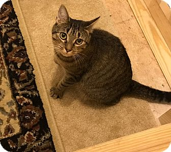 Domestic Shorthair Cat for adoption in Reinholds, Pennsylvania - Momma