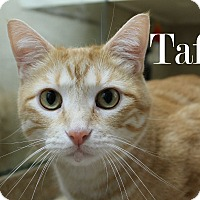 Adopt A Pet :: Taffy - Wichita Falls, TX