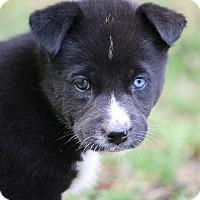 Adopt A Pet :: Olivia - Allentown, NJ