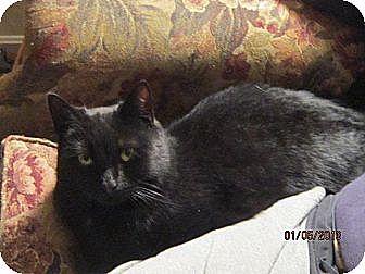 Domestic Shorthair Cat for adoption in Sanford, Maine - Jasmine