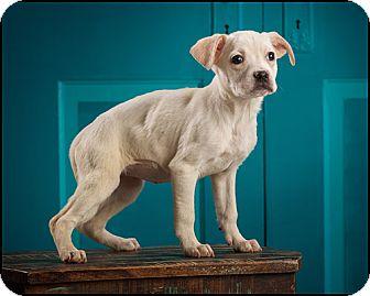 Boxer/Labrador Retriever Mix Puppy for adoption in Owensboro, Kentucky - Roo