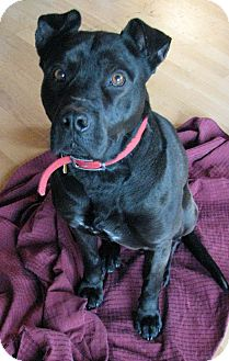 Labrador Retriever/American Staffordshire Terrier Mix Dog for adoption in Chicago, Illinois - ROCKWELL
