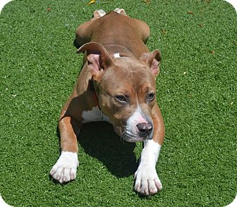 American Staffordshire Terrier/American Pit Bull Terrier Mix Dog for adoption in San Diego, California - Bubbles