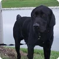 Adopt A Pet :: Diesel - Lewisville, IN