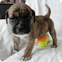 Adopt A Pet :: Baby Ramsey - Marlton, NJ