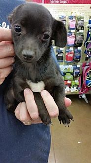 Chihuahua Mix Puppy for adoption in Fresno, California - Speck