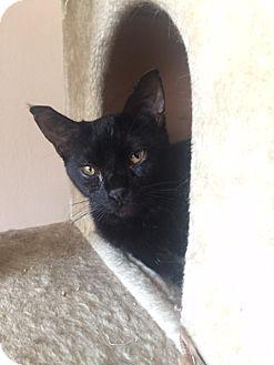 Domestic Shorthair Cat for adoption in Los Angeles, California - Salem