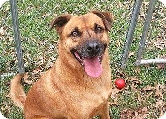 Shepherd (Unknown Type)/Feist Mix Dog for adoption in Simpsonville, South Carolina - Basil
