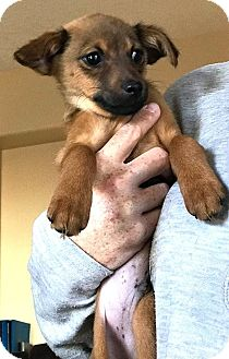Terrier (Unknown Type, Small) Mix Puppy for adoption in Tijeras, New Mexico - Matteo