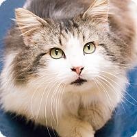 Adopt A Pet :: Cyrano - Chicago, IL
