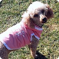 Poodle (Miniature) Dog for adoption in Doylestown, Pennsylvania - Bailey