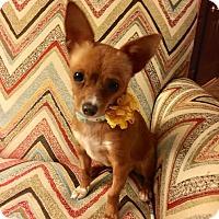 Adopt A Pet :: Midge - Flossmoor, IL