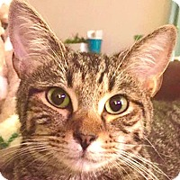Domestic Shorthair Cat for adoption in Fort Lauderdale, Florida - Legolas