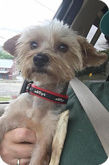 Yorkie, Yorkshire Terrier Dog for adoption in Hedgesville, West Virginia - Harley Boy